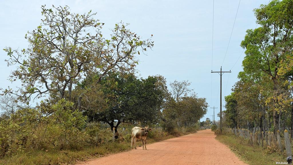 Kuh auf der Zufahrt