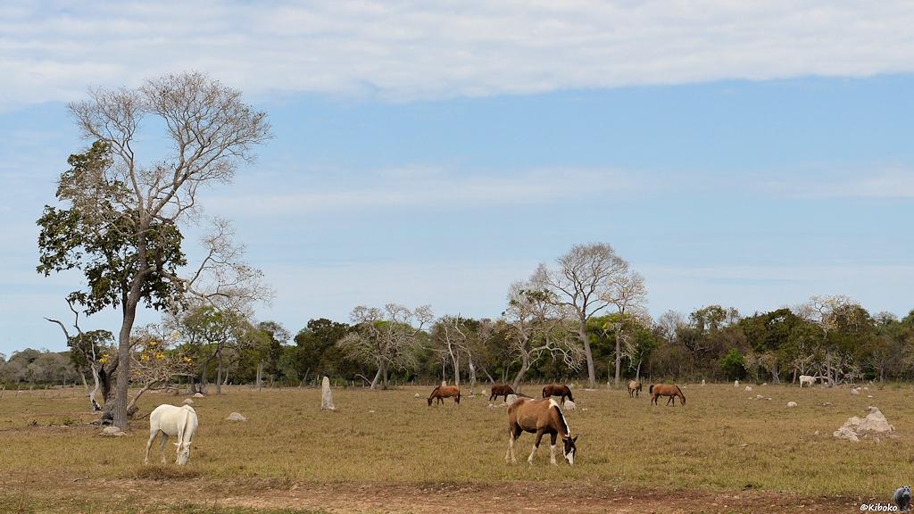 Pferdekoppel mit Termitenhügeln