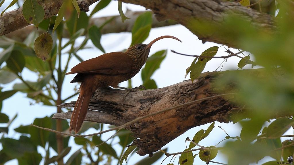 Brauner Vogel mit großen, dünnen, gebogenen, roten Schnabel