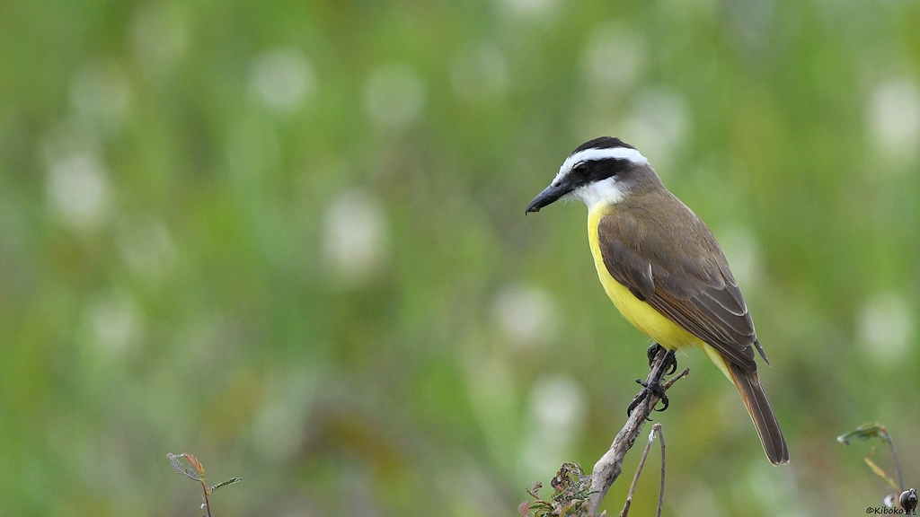 Kleiner Vogel mit schwarzweißem Kopf, gelben Bauch und braunen Rücken sitzt oben auf einem Busch