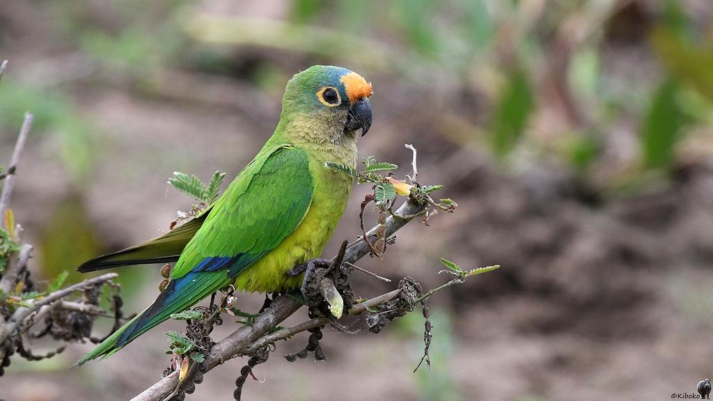 Grüner Papagei mit hellgrünem Bauch und orangen Fleck auf der Stirn
