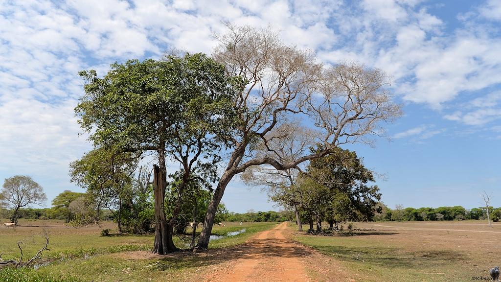 Große Bäume säumen einen Fahrweg