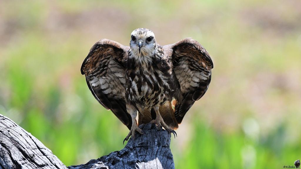 Brauner Raubvogel mit hellem Kopf sitzt mit halb ausgebreiteten Flügeln auf einen Baumstumpf